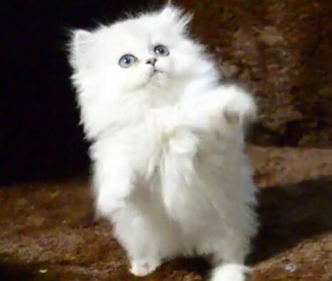 金吉拉猫怎么老有眼屎?治疗金吉拉眼屎有方法!
